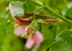 after the rain (krrrista) Tags: pink plant flower reflection water rain k pennsylvania farm drop geranium mountjoy naturesfinest meadowview brillianteyejewel