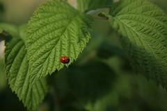 Nyckelpiga (Júlíus Stígur / Julius Stigur) Tags: lund sweden ladybird unedited nyckelpiga júlíus 1755mm stephensen stígur maríubjalla maríuhæna
