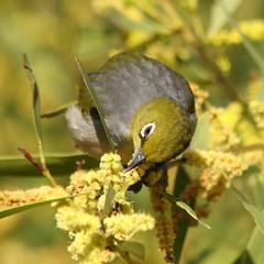 Silvereye ({Rory}) Tags: bird feeding wildlife sydney australia nsw silvereye centennialpark blueribbonwinner zosteropslateralis slbfeeding