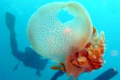 Jellyfish at Koh Tao Island, Thailand (_takau99) Tags: ocean trip travel sea vacation holiday fish macro uw nature water topv111 thailand lumix jellyfish underwater july scuba diving s panasonic tropical scubadiving tao kohtao 2007 gulfofthailand hliday  takau99 dmcfx30