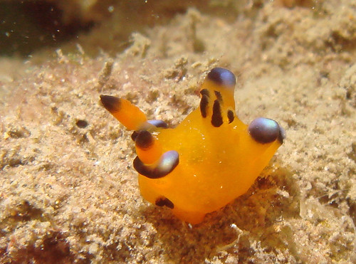 皮卡丘海蛞蝓-Pikachu Nudi (1)