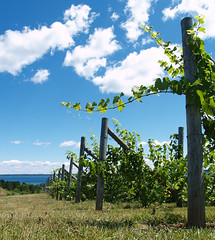 Willow Vineyard VI by Cotopaxi Sprattmoran