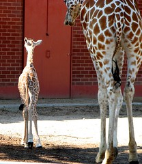 Comparison - 8 days old to 1 1/2 years old (MyAngel 27) Tags: zoo giraffes denverzoo naturesfinest reticulatedgiraffe