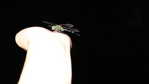 20080827  谁家小蜻蜓,翩跹入我梦?