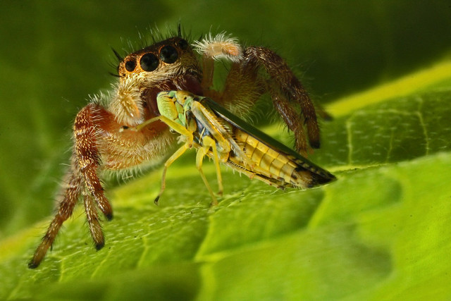 Jumping Spider (Phidippus princeps) with Leafhopper (Graphocephala versuta) prey