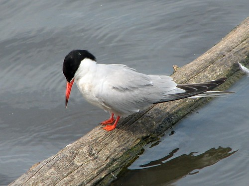 Common Tern at Starrevaart