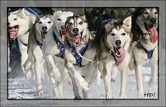 Huskies in Sweden - Asarna