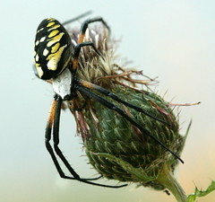 Garden Spider on Thistle (Vincent Parsons) Tags: insectsandspiders mdc75