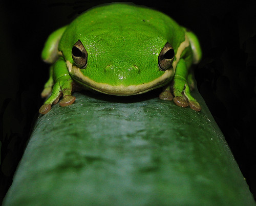 treefrog on cane
