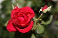 Rose and Sidekick