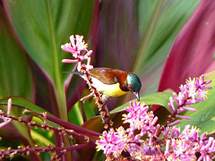 Purple-Rumped Sunbird (SivamDesign) Tags: male bird fauna lumix panasonic sunbird purplerumpedsunbird nectariniazeylonica purplerumped fz8 dmcfz8