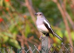 Robin - 2 (Irfan Mirza) Tags: pakistan robin birds canon irfan mirza sialkot 100300 56l xti 400d aplusphoto natureselegantshots panoramafotogrfico