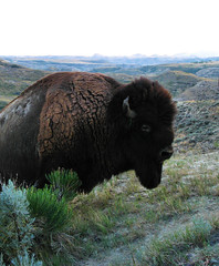 Big buffalo bull (ronjbaer) Tags: wild buffalo bull nd badlands medora pard trnp