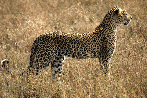 African Leopard Project