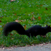 Video ardilla negra corriendo por el parque