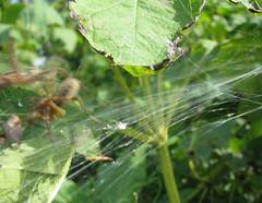 Then (zxgirl) Tags: alexandria bug virginia spider spiders web arachnid spiderweb bugs va arachnids arthropods arthropoda arachnida s5 arthropod araneae agelenidae araneomorphae img5634 bellehavenpark entelegynes