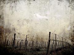 vineyard in the snow (Vlahaha) Tags: morning italy texture fog vineyard country hills campagna uva colline romagna vigna dozzaimolese trebbiano stealingshadows goodwinemakespeoplegoodhumoured buonvinononmente