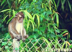 undecided (aj_1328) Tags: nature animals monkey nikon wildlife philippines subic sbma sittingonthefence d2xs