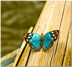 blue butterfly (Andrea Rapisarda) Tags: brazil nature beauty butterfly photography photo foto natura explore fotografia mariposa colori brasile iguau cascate explored colorphotoaward olympuse510 rubyphotographer rapis60 andrearapisarda