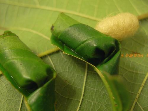 你拍攝的 糞金龜蟲蛹2。