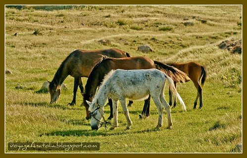 Horses at Karasar by voyageAnatolia