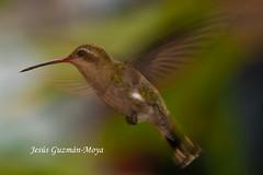 Presumida (Jesus Guzman-Moya) Tags: naturaleza bird nature mexico hummingbird action pajaro puebla colibri accion chuchogm jesúsguzmánmoya