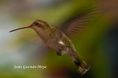 Presumida (Jesus Guzman-Moya) Tags: naturaleza bird nature mexico hummingbird action pajaro puebla colibri accion chuchogm jessguzmnmoya