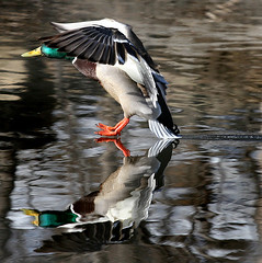~The Skimmer~ (ViaMoi) Tags: canada bird nature speed photography duck action wildlife canon20d ottawa ducks canadian landing mallard drake waterfowl stopaction supershot addictedtoflickr platinumphoto colorphotoaward viamoi goldstaraward 100commentgroup grouptripod thewonderfulworldofbirds