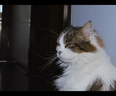 Masked Lady Cat: Looking for another victim (LinoPhilippe) Tags: chile santiago cats cat kitten feline chat kitty gatos gato felino katze nikkor gatto katzen matou chatte chaton d60 hauskatze felidi 1855mmf3556gvr
