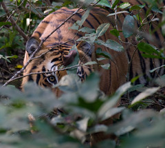 Bengal Tiger (Emon) Tags: travel india tiger royal safari jungle predator bengal terai pantheratigristigris jimcorbettnationalpark pantheratigrisbengalensis dpsfreestyle