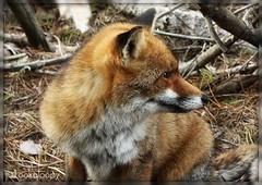 All'erta (Lookaloopy) Tags: parco nature marina canon eos fox tuscany toscana maremma volpe naturalmente alberese uccellina 450d