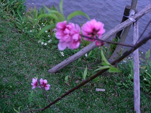 大湖公園桃花