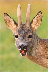 Happy-go-Bucky (hvhe1) Tags: sunset nature smile smiling animal happy spring bravo stag wildlife velvet deer antlers buck roedeer specanimal animalkingdomelite hvhe1 hennievanheerden