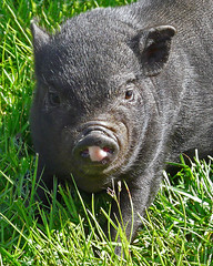 Lovable  Baby Pig (njchow82) Tags: canada cute calgary animal adorable alberta babypig calgarystampede animaladdiction beautifulexpression dmcfz18 njchow82 thecelebrationoflife pettingzone citadelstampedebreakfast