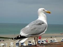 zeemeeuw / sea-gull (dietmut) Tags: animals germany deutschland tiere seagull places dieren 2009 duitsland seamew zeemeeuwen seemwen inselsylt dietmut islandsylt eilandsylt junijune