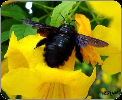 MAMANGAVAS são também conhecidas por mamangaba, mangangá, mangava, mangaba, abelhão, bombolini, vespa-de-rodeio também como vespão!!!