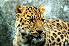 Minnesota Zoo (SkyWildPhotography) Tags: minnesota canon zoo spring leopard mn amur applevalley