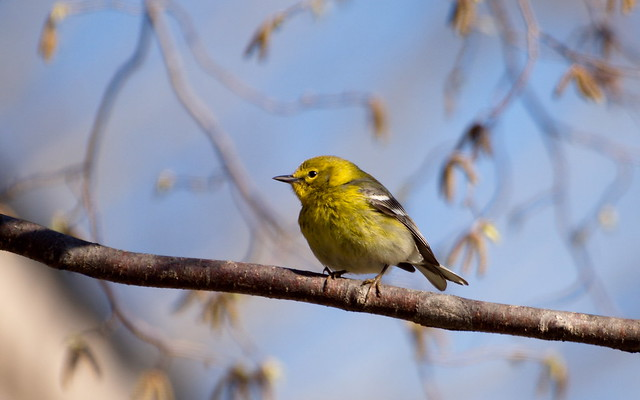 A Pine Warbler at Nerstrand-Big Woods State Park in Minnesota.