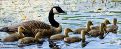 Geese Family (Stuart-Saunders) Tags: family lake bird water geese pond nikon group young ducks nikkor 105mm d90