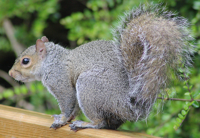 Sciurus carolinensis (Eastern gray squirrel)