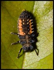 Ugly Bug (Yannig Van de Wouwer) Tags: macro canon bug insect cuddly ladybug lieveheersbeestje ef100mm