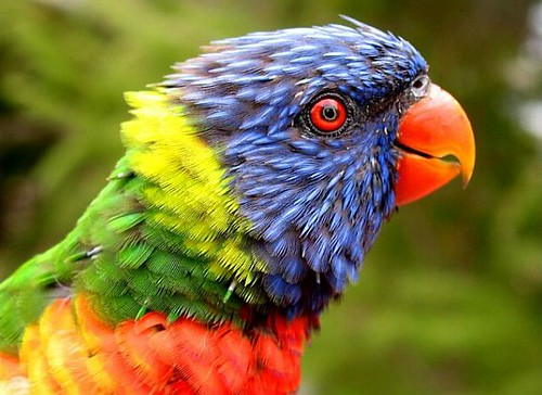 rainbow Parrot by Hande Aksoy in Flickr