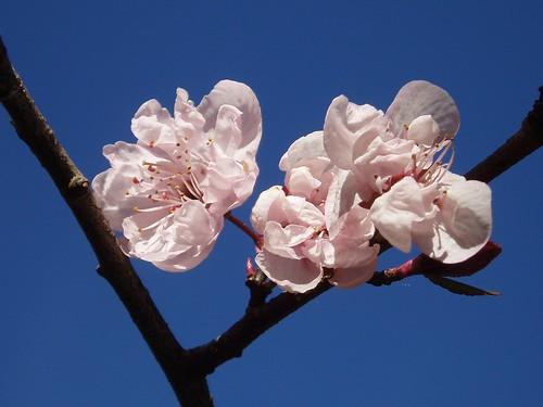 Pink Blossom Sky