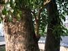 竹山鎮中和里救人老茄苳樹DSCN0192