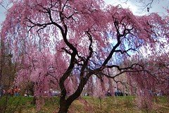 Branch Brook Park New Jersey Cherry Blossom Display (Free Of The Demon) Tags: park flowers nature beautiful america wow nj jersey greatshot cherryblossom newark fabulous picturesque soe damncool smrgsbord emozioni naturalmente naturesfinest razzie mybestphotos supershot fineartphotos anawesomeshot ultimateshot irresistiblebeauty eyecandyartpost ysplix ilovemypic brilliant~eye~jewel naturewatcher awwwed theperfectphotographer thebestofgodscreation shiningstar worldwidelandscapes llovemypic beautyunnoticed natureselegantshots ~florayfauna~ gr8photo freeofthedemon edcarbo