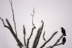 To Perch (Martin Cathrae) Tags: winter snow canada tree perch perched snowing crow crows pei charlottetown