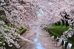 Sakura Moat (Hirosaki Japan).  Glenn Waters. (Explored) 48,700 visits, to this photo. Thank you! (Glenn Waters in Japan.) Tags: park pink flowers trees flower reflection castle tourism water beautiful grass japan reflections cherry landscape japanese spring interesting nikon tour ninja branches explore stunning aomori  getty cherryblossom  sakura cherryblossoms nippon samurai hirosaki moat  tohoku japon edo springtime cherrytrees touhoku  pinkflowers  d300 tsugaru  explored  kitaguni    nikkor55200mmvr nikond300 earthasia  glennwaters
