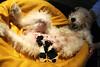 E o Ruffus virou pai... (Richard E. Ducker) Tags: puppy de wire puppies terrier fox wired duro pelo filhotes arame