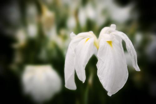 1751 : Iris2008 #1 -Tagasode-