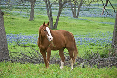 Red and Green and Blue (Jeff Clow) Tags: blue red horse green nature rural texas meadow dfw bluebonnets equine purity jeffclow jeffrclow